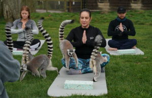 In this Hotel in England, People Can Do Outdoor Yoga With Lemurs